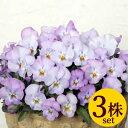 よく咲くスミレ ライチVer2 ポット苗 3個セット 花苗 冬 パンジー ビオラ すみれ 苗 寄せ植え ガーデニング