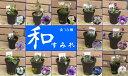 和すみれコレクション13種が勢ぞろい直径8.3cmミニ鉢