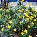 ユリオプスデイジー 1株 ユリオプスデージー 草花 花の苗 ...