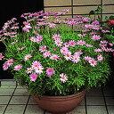 ピンクの マーガレット 1株宿根草 栄養系