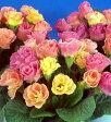 楽天1位宿根草 バラ咲き プリムラ ジュリアン ピーチフロマージュ 1株【05P05Nov16】