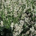 花のタネ ラベンダー エレガンス スノー約30粒宿根草