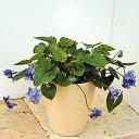 楽天1位宿根草 あま〜い香りの八重咲き ニオイスミレ 紫 1株