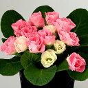 楽天1位宿根草 バラ咲き プリムラ ジュリアン いちごのミルフィーユ 1株【05P05Nov16】