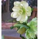 八重咲き・中輪クリスマスローズ プレムアムコレクション アンジェリエ9cmポット2016年秋の新苗