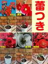 ☆毎年開花のボケ ( 木瓜 )コレクション 5種から選べる 3.5号鉢