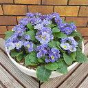 プリムラ・ブルーボール鮮やかなブルーが光る寄せ植えです10号(直径30cm)鉢植え*送料無料・他品同梱可能*ただし、お届け地域によっては差額送料が発生します。