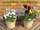 ☆パンジービオラ3色咲きます6号鉢 3月14日切り戻し品説明をよく読んでからご注文願います