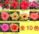 ☆晩秋まで咲き続け毎年楽しめるハイビスカスロングライフシリーズ5号鉢植えこれからどんどん勝手に大きく
