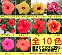 晩秋まで咲き続け毎年楽しめるハイビスカスロングライフシリーズ5号鉢植え