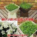 ☆宿根草ワーレンベルギア スパイシーベル いっぱいに広がった完成品BOXタイプの鉢植え1鉢