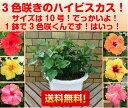 晩秋まで咲き続け毎年楽しめるハイビスカス3色咲き一般市販に無いBIGな10号鉢*送料無料・他品同梱不