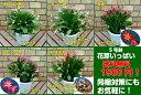 ☆7種から選べるシャコバサボテン デンマークカクタス5号鉢これから開花の蕾いっぱい状態(9月28日現在)*送料無料・他品同梱可関東甲信越地域以外は出荷地からの関係で別途送料が発生します