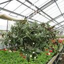 ブライダルベール 6号鉢 吊り具付き 宿根草 季節の鉢花 観葉植物