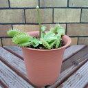 ハエトリ草 (ハエトリグサ) 4号鉢(水苔処理) 食虫植物 観葉植物 耐寒性多年草