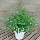 ユーフォルビア ダイアモンドフロスト 5号鉢 開花物