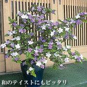 半耐寒性常緑低木 香りばんまつり( ニオイバンマツリ )1株