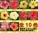 晩秋まで咲き続け毎年楽しめるハイビスカス5号鉢植え