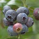 果樹苗 ハイブッシュ系ブルーベリー ブルーレイ 4.5号(13.5cm)ポット 2年生以上大苗