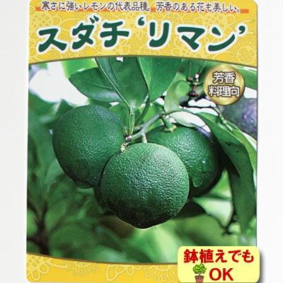 2017年新苗・果樹苗常緑低木 柑橘系 スダチ リマン 4.5号(直径13.5cm)ポット