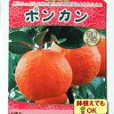 2017年新苗・果樹苗常緑低木 柑橘系 ポンカン   4.5号(13.5cm)ロングポット