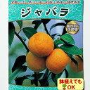 2017年新苗・果樹苗常緑低木 柑橘系 ジャバラ4.5号(直径13.5cm)ポット