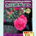 ☆2016年新苗・家庭樹落葉低木 庭桜 ( ニワザクラ ) 赤花6号(直径18cm)ポット苗