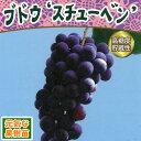 ☆果樹苗ぶどう スチューベン2年物 6号(直径18cm)鉢 1株