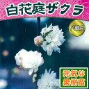 ☆2016年新苗・家庭樹落葉低木 庭桜 ( ニワザクラ ) 白花 6号(直径18cm)ポット苗