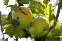 ・果樹苗 ・落葉高木リンゴ ( りんご ) もりのかがやき 2年生以上大苗6号(直径18cm)ポット