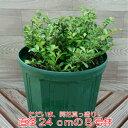 数量限定ハートがいっぱい、いっぱい実るハートツリー 8号鉢(直径24cm)*送料無料・他品同梱可・関...