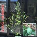 オリーブ ひなかぜ 4.5号(13.5cm)ポット1株 常緑高木 家庭樹 シンボルツリー オリーブの実も!