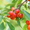 果樹苗ベランダさくらんぼ(サクランボ) ナポレオン 植え替えせずに育てられる7号スリット鉢植え 家庭栽培 ベランダ栽培