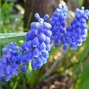 ムスカリ アルメニアカム ブルー 1ポット(5球植え)