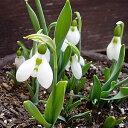 スノードロップ (ガランサス エルウェッシー) 5球パック秋植え 冬植え 春咲き 球根 イングリッシュガーデン