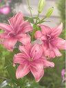 八重咲き ピンクブロッサム
