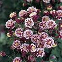 花のタネ アクイレギア ウインキーダブル レッド&ホワイト10粒 宿根草