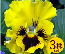 パンジーフリル咲き フリズルシズルイエロー10.5cmサイズ大ポット3ポットセットパンジー ビオラ すみれ 苗 寄せ植え