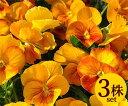 パンジーハニー系オレンジシェード10.5cmサイズ大ポット3ポットセット(トーホクシード)ホルモン剤不使用栽培品パンジー ビオラ すみれ 苗 寄せ植え