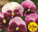 パンジーデザイナーズコレクションストロベリービーコン10.5cmサイズ大ポット10ポットセットパンジー ビオラ すみれ 苗 寄せ植え