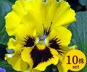 パンジーフリル咲き フリズルシズルイエロー10.5cmサイズ大ポット10ポットセットパンジー ビオラ すみれ 苗 寄せ植え