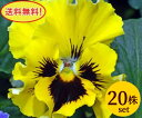 パンジーフリル咲き フリズルシズルイエロー10.5cmサイズ大ポット20ポットセット*送料無料・他品同梱可・ただし、お届け地域によっては別途差額送料が発生する場合が有ります。パンジー ビオラ すみれ 苗 寄せ植え