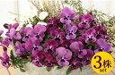 よく咲くスミレラズベリー10.5cmサイズ大ポット3ポットセットパンジー ビオラ すみれ 苗 寄せ植え