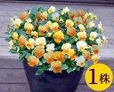 ビオラプラスキティーオレンジリップ10.5cmサイズ大ポット1ポットパンジー ビオラ すみれ 苗 寄せ植え