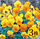 ビオラビビ クリアオレンジ10.5cmサイズ大ポット3ポットセットパンジー ビオラ すみれ 苗 寄せ植え
