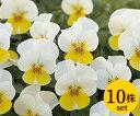 ビオラフローラルパワークリームイエローリップ10.5cmサイズ大ポット10ポットセットパンジー ビオラ すみれ 苗 寄せ植え