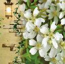 芳香高い一重咲木香バラ(モッコウバラ) 白色12cmポット長尺物(全高約60cm)【05P01Oct16】