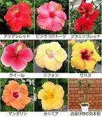 ☆お買い得ハイビスカス5号鉢植え2年物お買い得に付、品種はお任せ願います
