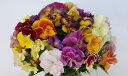パンジービオラ復活した伝説の八重咲きパンジーファビュラス 1株開花確認株・色系統選べます【05P05Nov16】