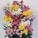 切り花にも最適耐寒性宿根草夏菊4色セット4色各1株